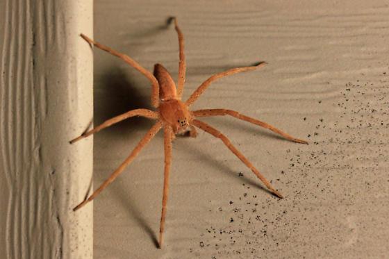 Nursery-Web Spider - Pisaurina mira