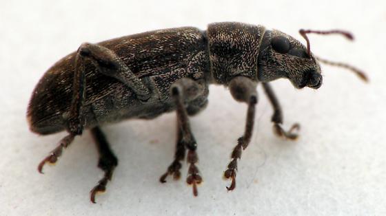 Grey Pine Weevil - Brachyderes incanus