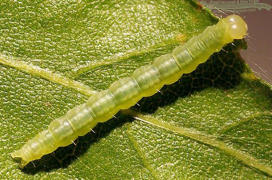 Pale Leaf Tier, 11 days after collection - Machimia tentoriferella