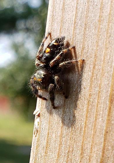 small jumping spider - Phidippus audax