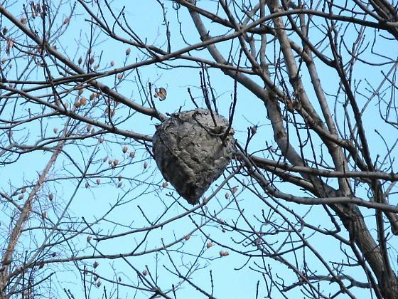 Dolichovespula maculata nest - Dolichovespula maculata