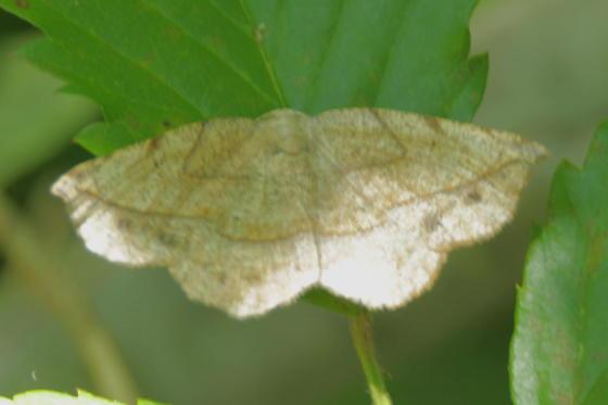 Moth - Eusarca packardaria