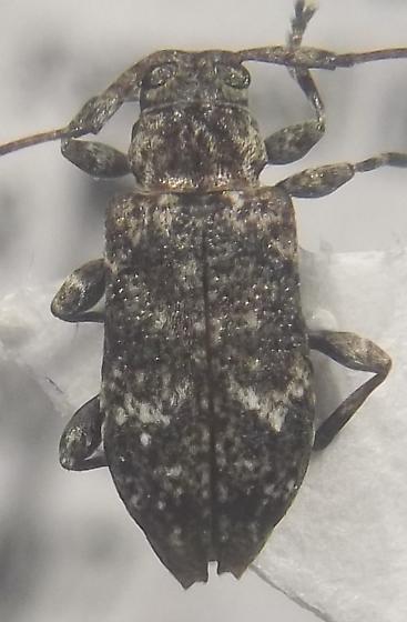 longhorned beetle - Sternidius punctatus