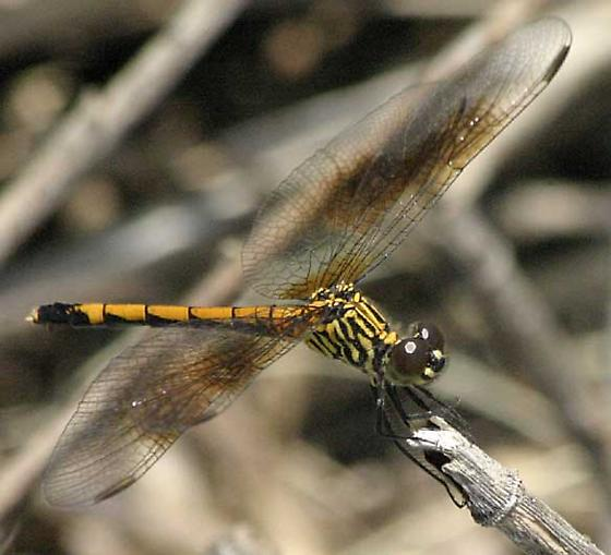Seaside Dragonlet, Female - Erythrodiplax berenice - female