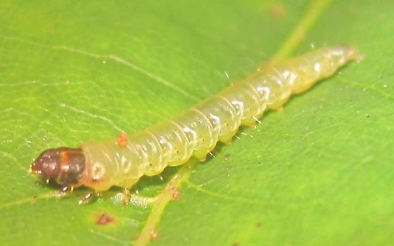 Idylwild caterpillar - Psilocorsis