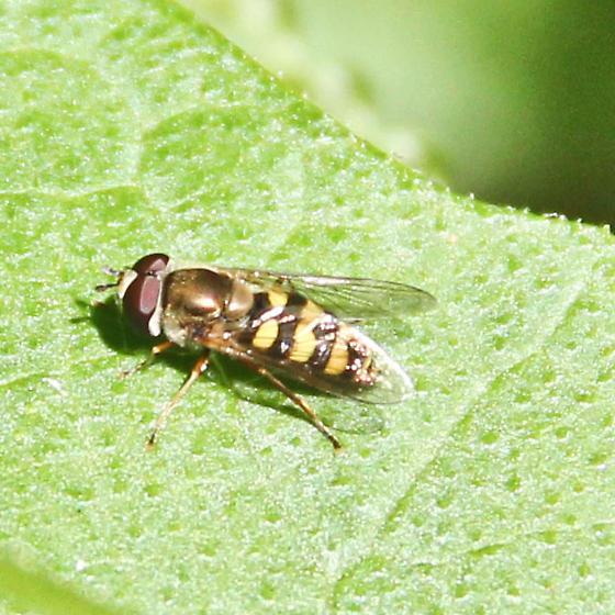 Hover fly or bee - seeking ID