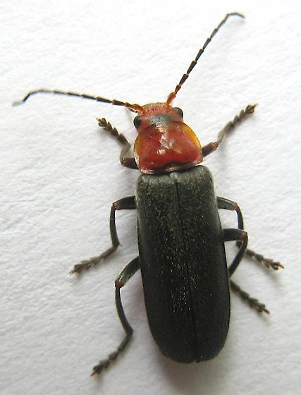 Soldier Beetle - Cantharis grandicollis