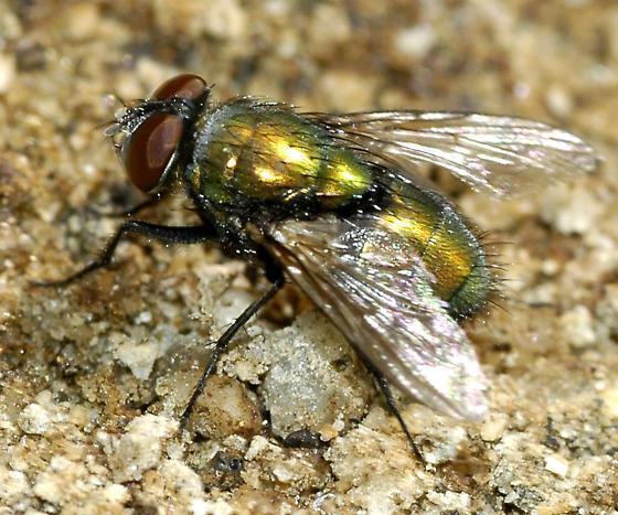 Calliphoridae - Lucilia sericata
