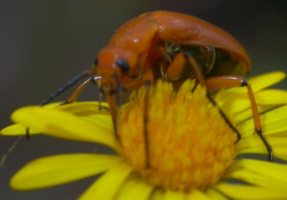 Nemognatha #2 - Nemognatha punctulata