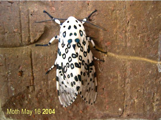 White moth with black circles and other black markings - Hypercompe scribonia