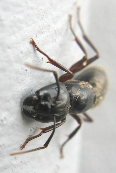 Black Carpenter Ant - Camponotus pennsylvanicus - female