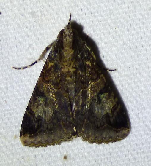 unknown moth - Melipotis famelica
