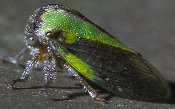 Tree Hopper - Platycotis