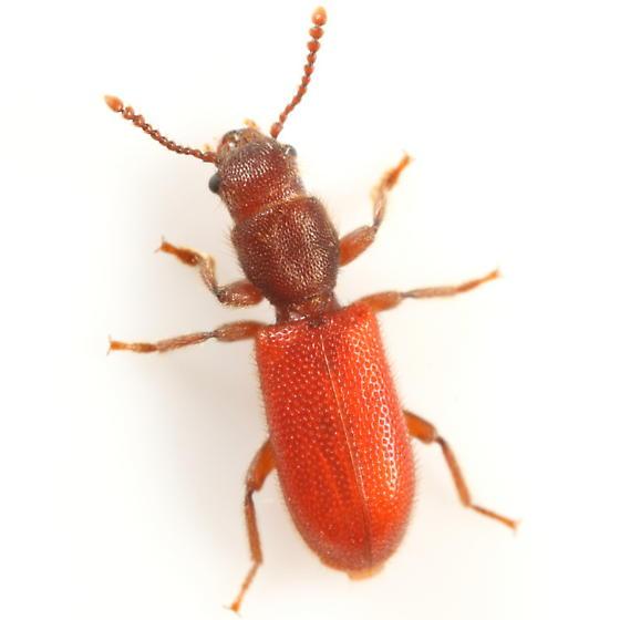Fuzzy red beetle (Cleridae?) - Zenodosus sanguineus