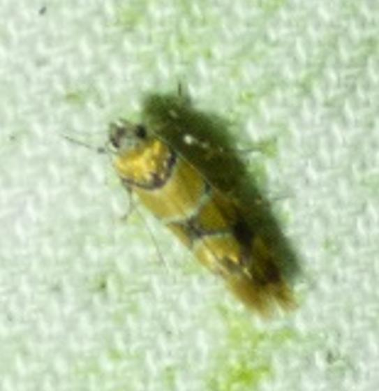 unknown insect - Decantha boreasella