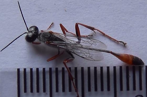Sexing wasps in the genus Ammophila (dorsal) - Ammophila - male