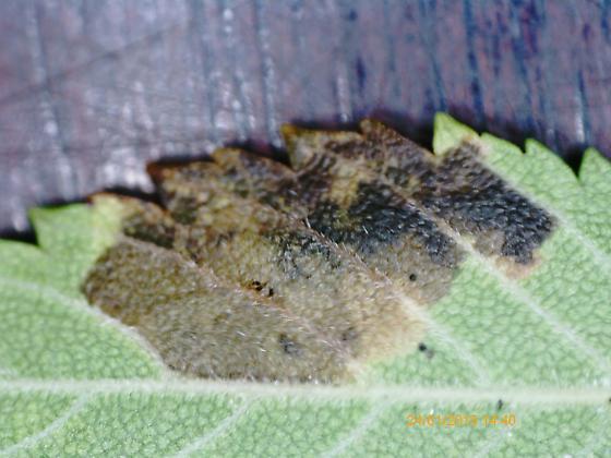 Lake Crabtree leaf miner on Ulmus alata D1088 2018 4