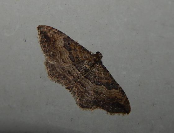 Moth in Baltimore - Orthonama obstipata