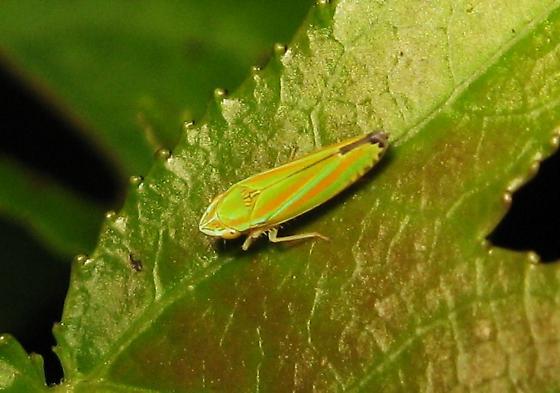 leafhopper - Graphocephala versuta