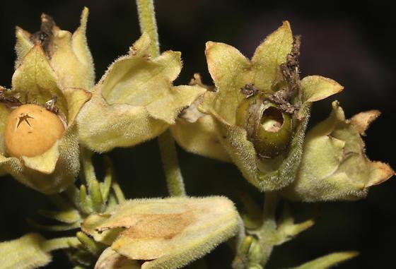 Noctuidae, Campion Coronet, larval sign - Hadena ectypa