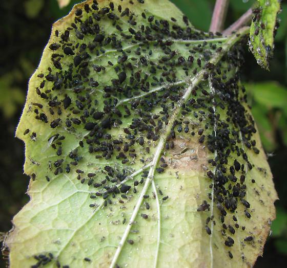 heavy infestation of black aphids aphis bugguide net. Black Bedroom Furniture Sets. Home Design Ideas