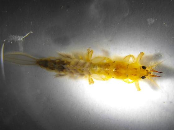 Ephemera larva - Ephemera simulans