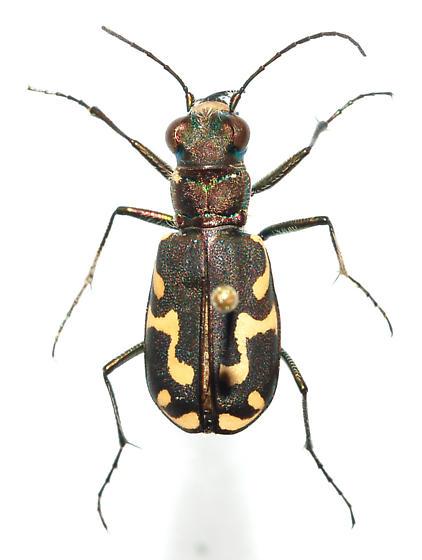 Pinned Specimen - Cicindelidia senilis