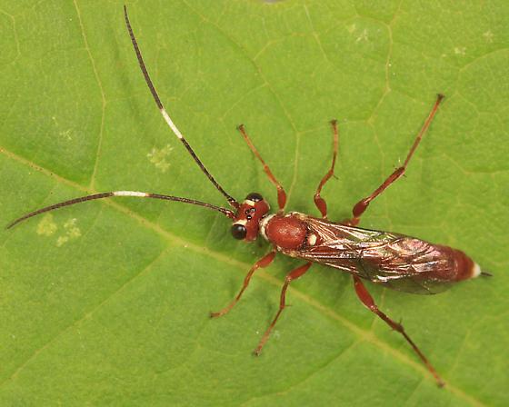 Ichneumon - Pseudoplatylabus new-species - female