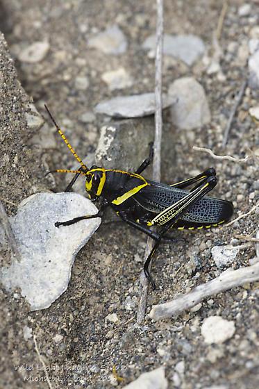 Desert Grasshopper - Taeniopoda eques - male
