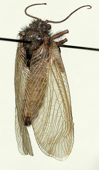 Oliarces clara, Moth Lacewing - Oliarces clara