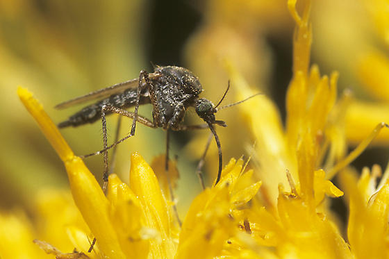 Mosquito - female