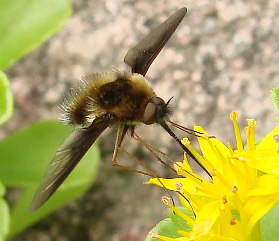 Bee Fly - Bombylius fulvibasoides - male