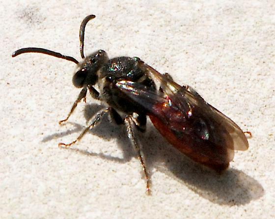 bee with reddish abdomen - Sphecodes - female