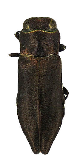 Anthaxia (Haplanthaxia) fisheri Obenberger - Anthaxia fisheri