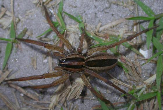 Rabidosa punctulata - female