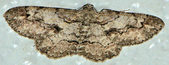 Brown-Shaded Gray - Iridopsis defectaria - male