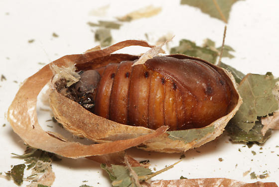 Polyphemus, pupal case, cut in 1/2 - Antheraea polyphemus