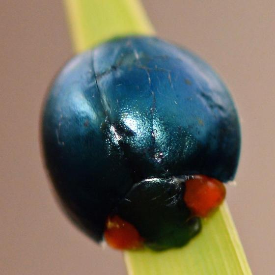 Ladybeetle - Curinus coeruleus