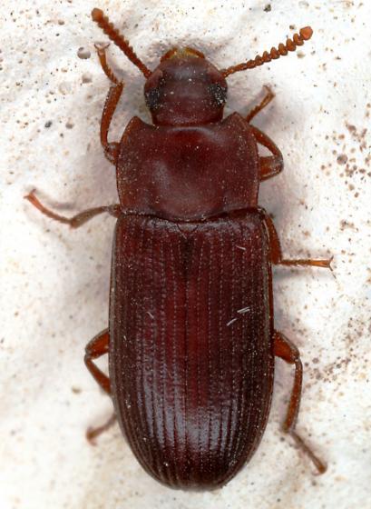Tenebrionidae? - Cynaeus angustus