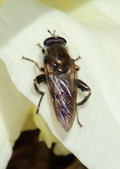 fly - Brachypalpus oarus