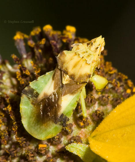 Ambush Bug on Rudbeckia - Phymata americana