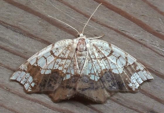 Geometridae: Nematocampa resisaria - Nematocampa resistaria