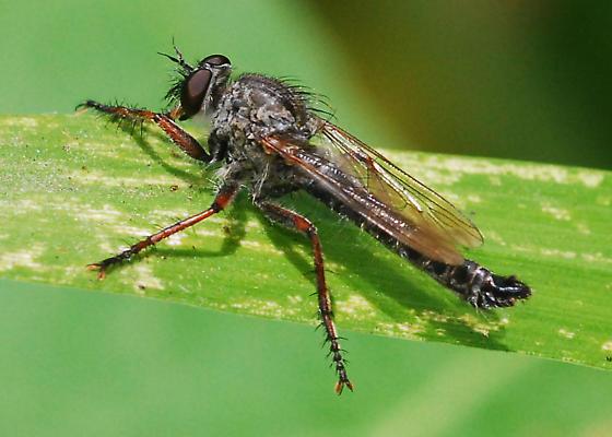Which robber fly? - Machimus latipex