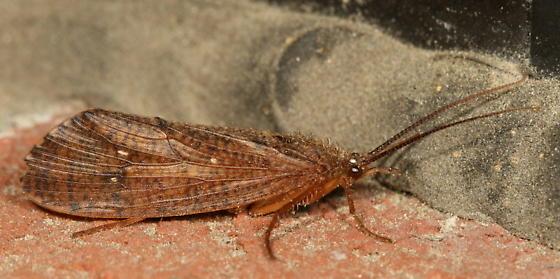 Large Caddisfly? - Ptilostomis