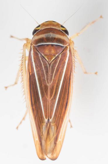 Leafhopper - Idiodonus kennicotti - female