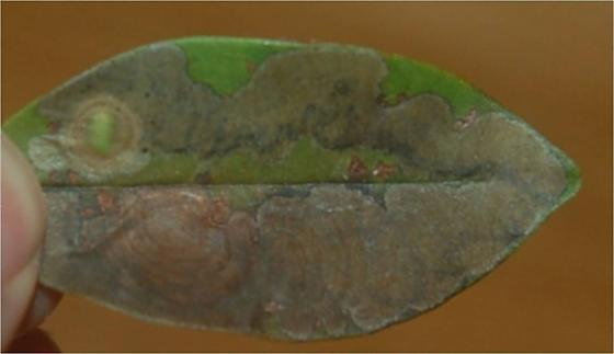 St. Andrews leaf miner on Wisteria frutescens SA27 Pachyschelus nicolayi later larvae 2015 5 - Pachyschelus nicolayi
