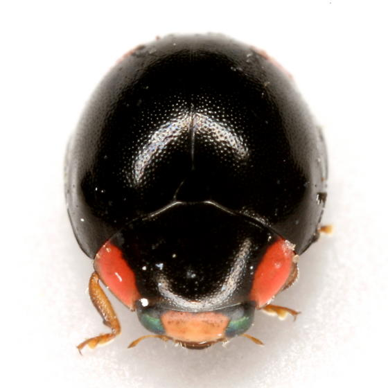 Hyperaspis bigeminata (Randall) - Hyperaspis bigeminata