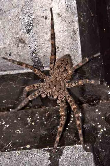 Unidentified Spider-20120902 - Dolomedes tenebrosus