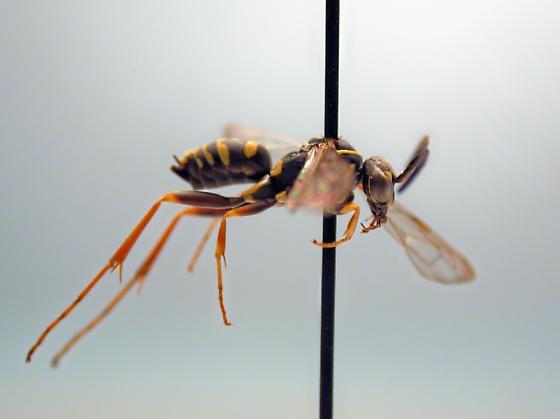 Ceropales maculata - female