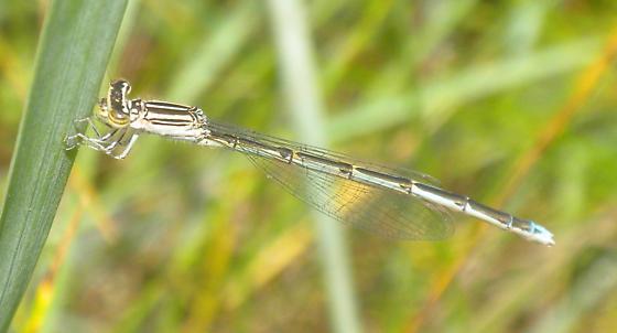 unknown dragonfly? - Enallagma basidens